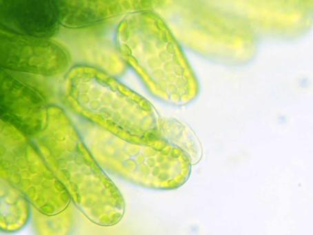 Alghe e microlghe. Mercato e prospettive ad AlgaeFarm 2021.