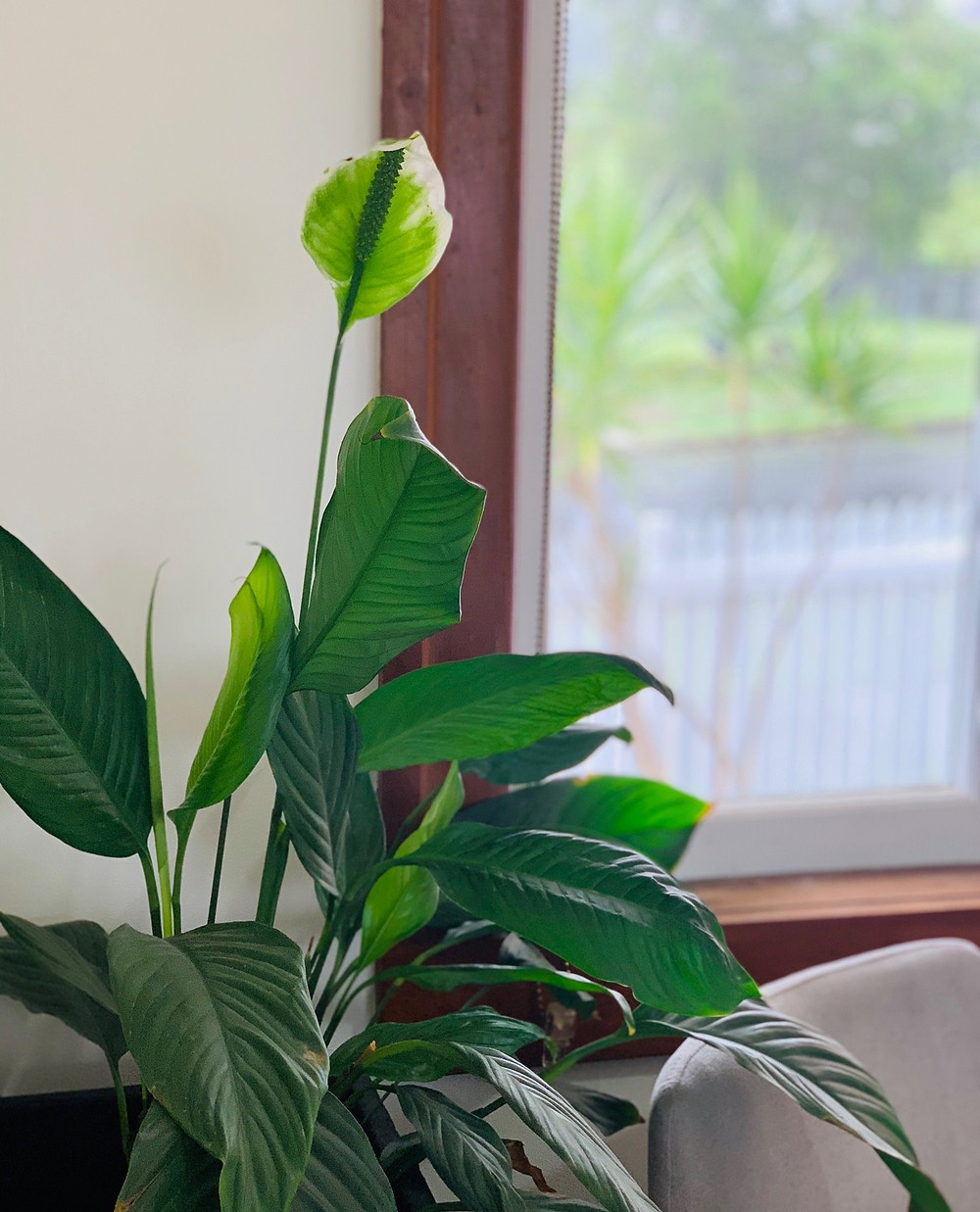 Peace Lilly, Indoor Plant, Landscaper Brisbane