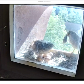 Die Falken sind da!