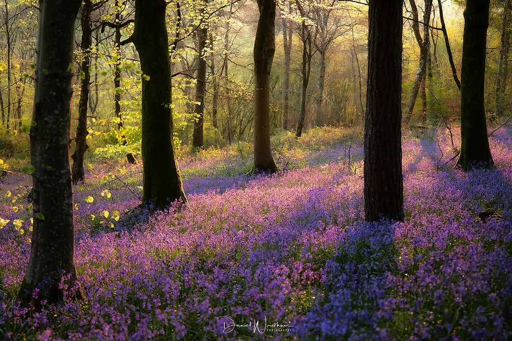 Bluebell pictures