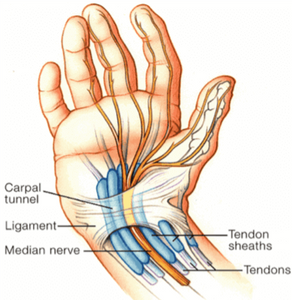 wrist flexor tendons