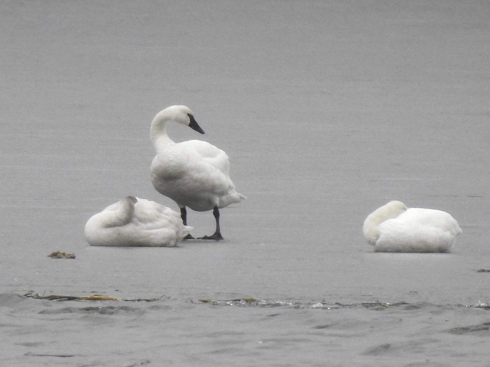 Three swans on the ice, two sleeping with their heads tucked and one standing with its head showing.