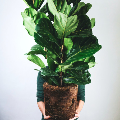 Fiddle leaf fig care and How to grow Ficus lyrata fig tree Indoor