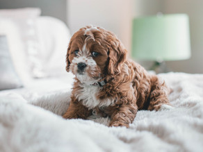 Police warn residents to look out for fraudulent Cavoodle puppy sales