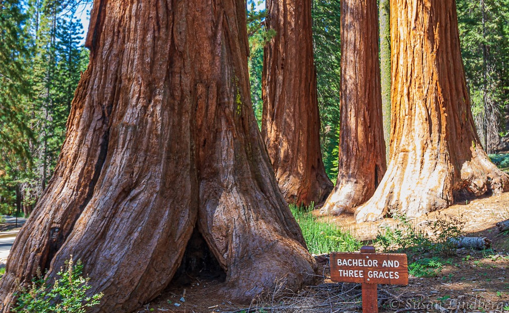 Giant Sequoia, Bachelor and Three Graces, Mariposa Grove, Yosemite National Park, California.    travel, vacation, nature, trees, hiking, giant trees, sequoia trees