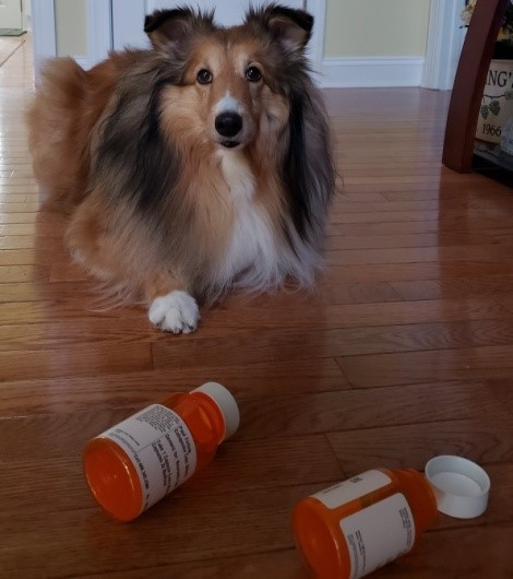 small dog stopping before bottles of open medicine