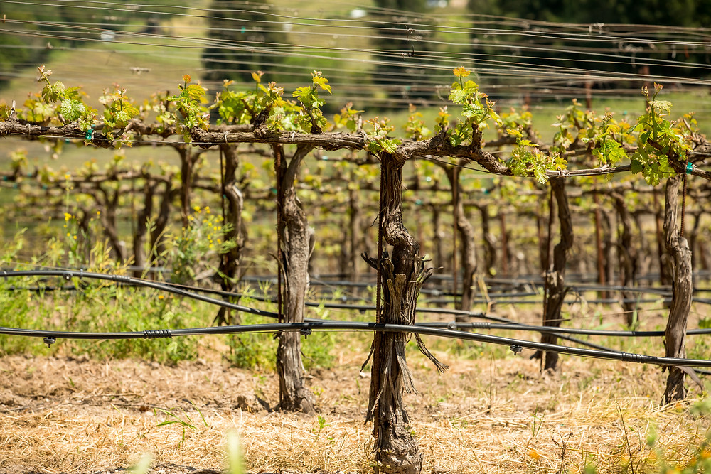 Napa Valley vineyard views during mustard season