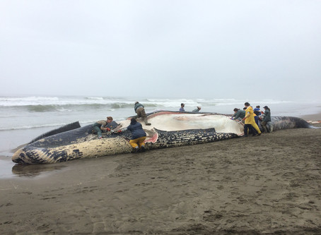 Dead Blue Whale on Peninsula Likely Hit By Ship, Marine Mammal Center Says