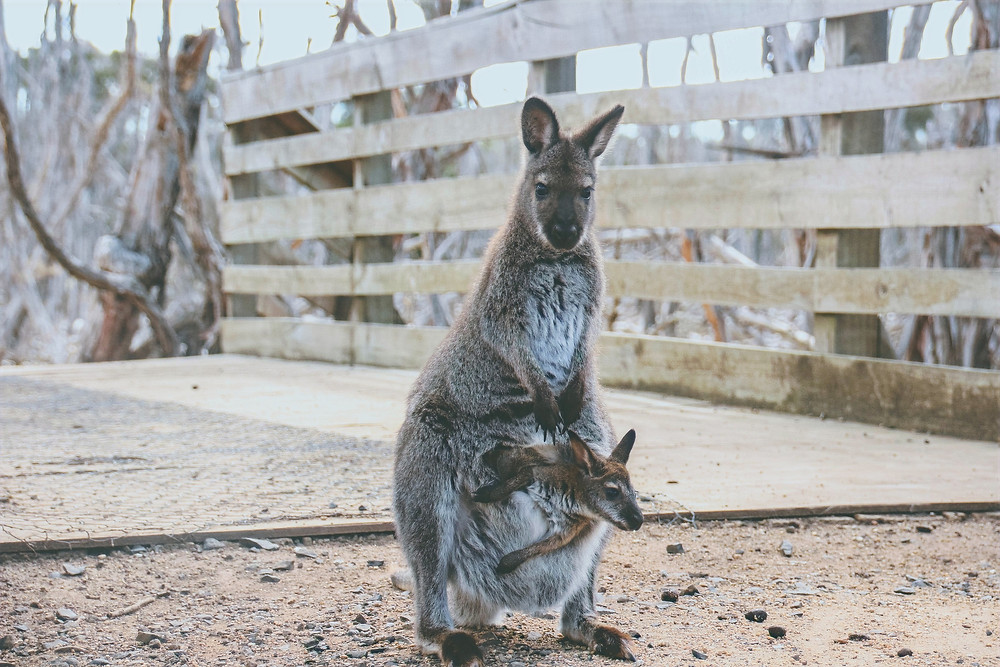 Kangaroo standing on the background of burnt down bush