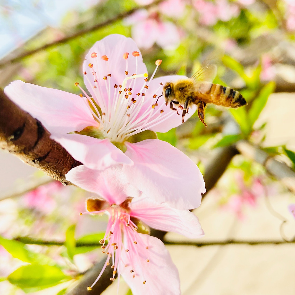 Honey bee flying by pink flower.