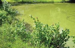 Pond with blue green algae