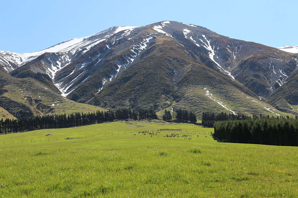 Looking toward Mt Hutt with some deer at the top of the paddock