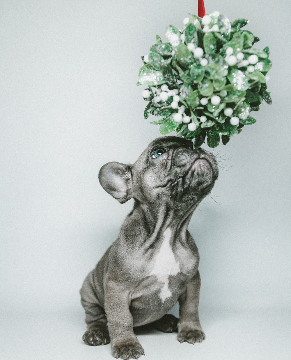 French bulldog puppy and mistletoe on Christmas