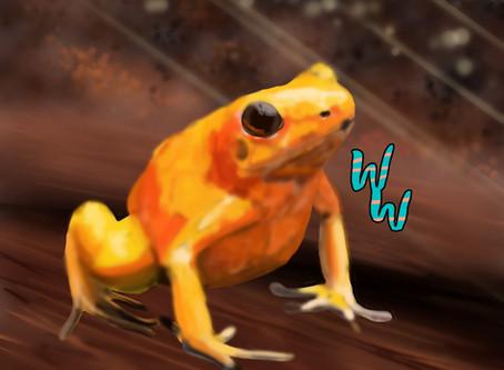 Golden Poison Frog!