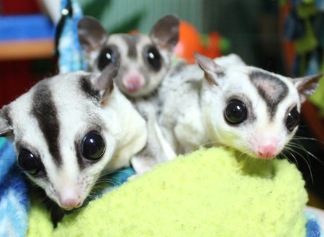 Animal Spotlight: Sugar Gliders