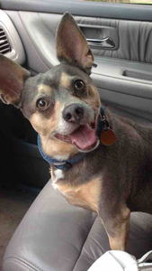 Chihuahua mix dog in front seat of car