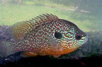 longear sunfish (Lepomis Megalotis)