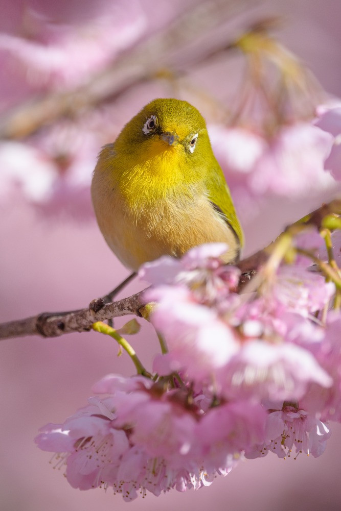 メジロと桜 / Cherry blossoms and Japanese white-eye