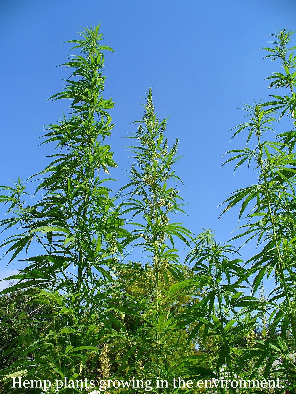 Hemp Plants growing wild