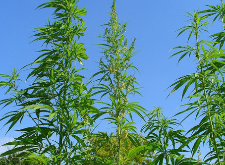 Phytoremediation, the least discussed property of Hemp