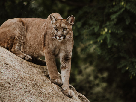 Cougar Terrifies a Runner in Utah for Nearly Six Minutes