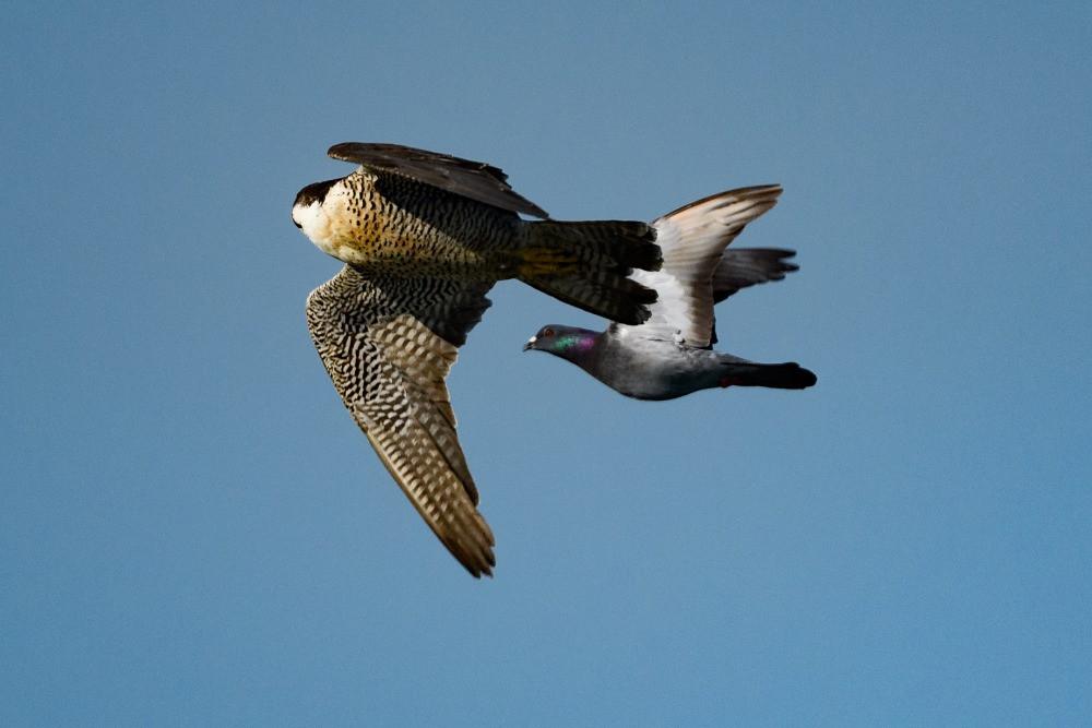 ドバトに接近するハヤブサ / Falcon approaching a pigeon