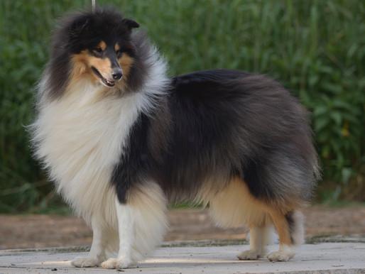10 razas de perro con pelo largo