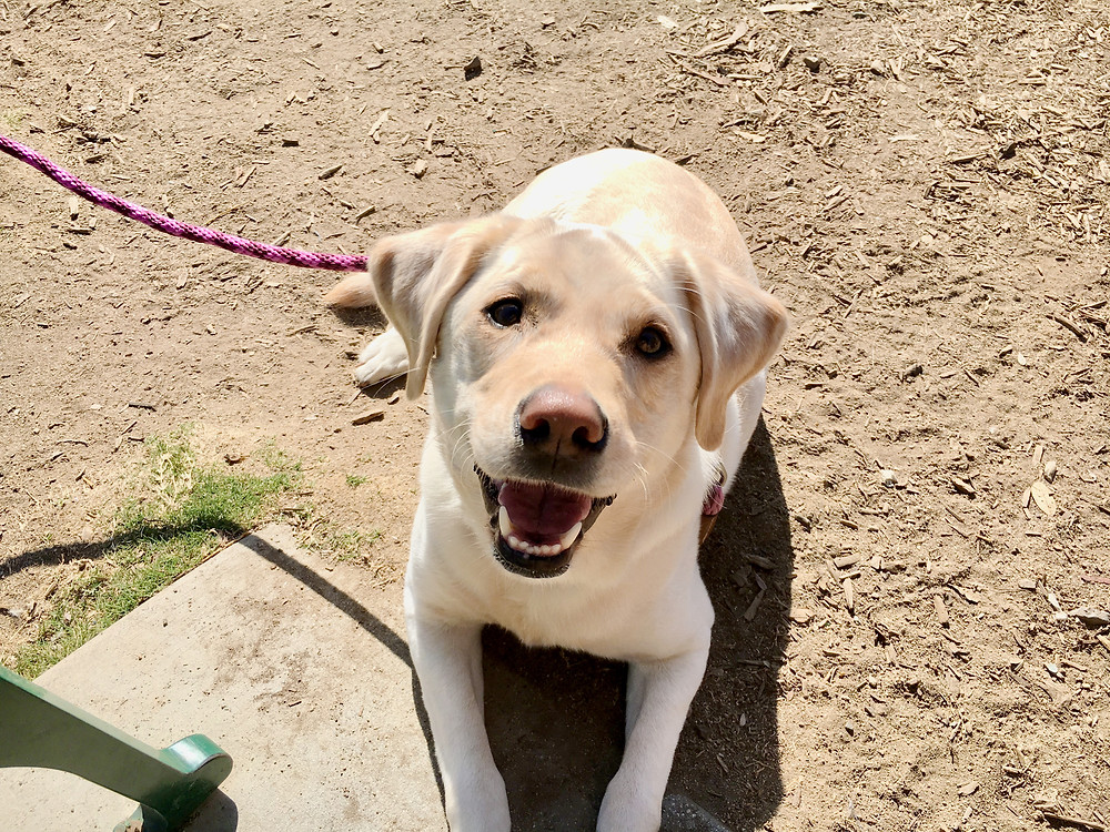 A happy dog who doesn't lunge during walks - Petdiary dog training collars