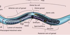 예쁜꼬마선충, 세포 예정사 연구의 첫 단추를 끼우다