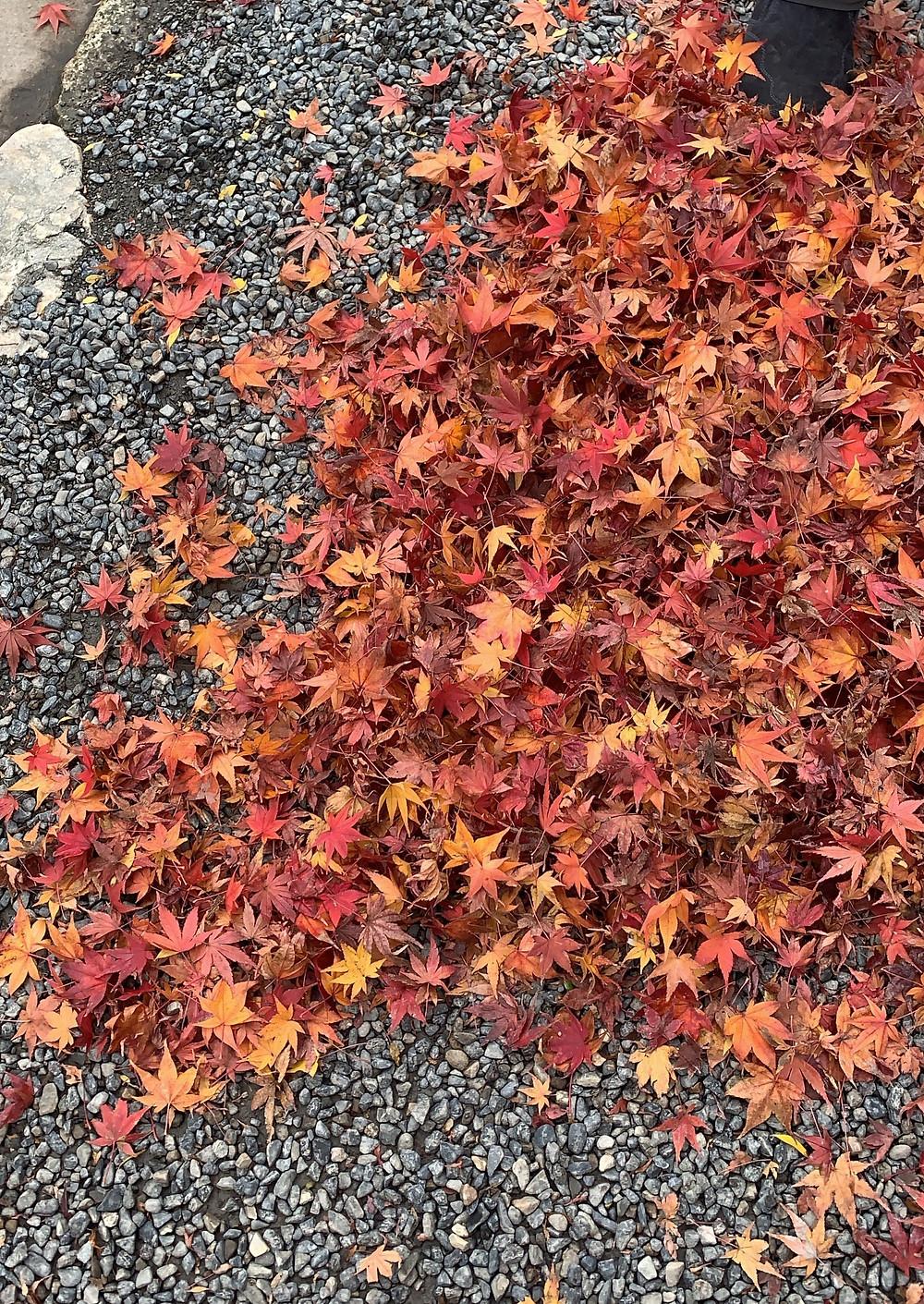 Folha de momiji em Kyoto no Japão durante o outono