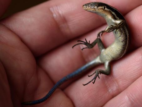 ニホントカゲ / Plestiodon japonicus