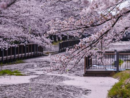 桜も終盤🌸