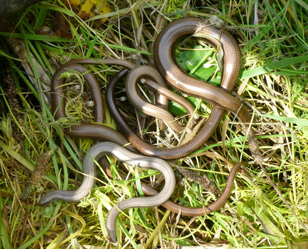 Slow worm reptiles under a ecology survey mat