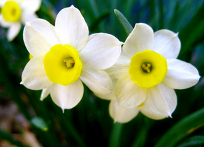 The Daffodil Effect