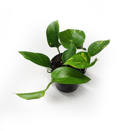 How to grow Epipremnum aureum (Devils Ivy, Snow queen, Marble queen, Goldilocks)