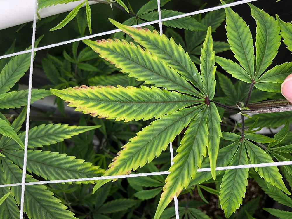 Cannabis plant PH lockout