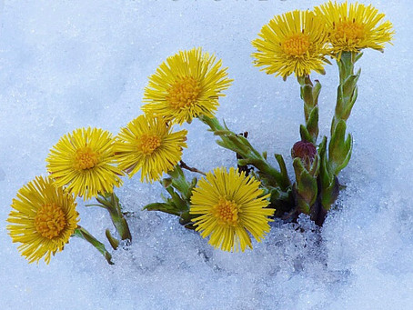 Remembering Coltsfoot