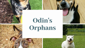 Odin's Orphans - Serving the homeless dogs in Nash County
