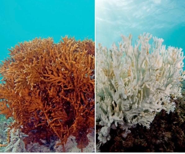 coral belaching