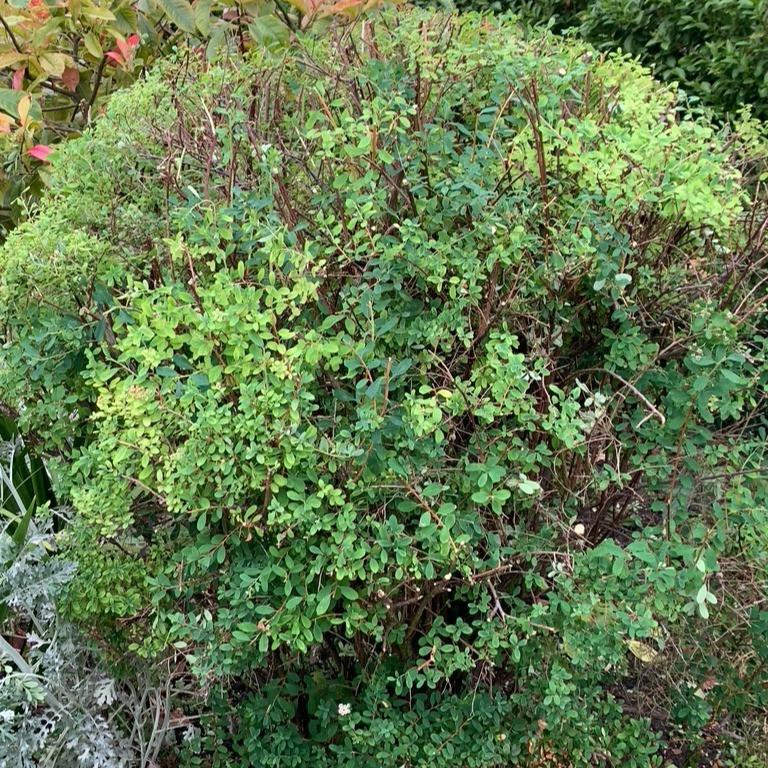 Pruning Spiraea japonica