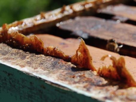 El propóleo; agente detonante de desintoxicación y terapéutico en las abejas.