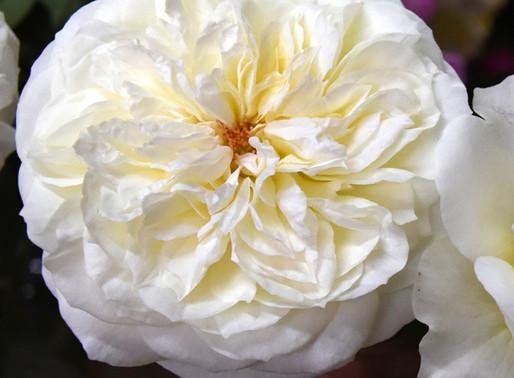 Alexandra Farms Announces Eight New Varieties of Fresh Cut Garden Roses