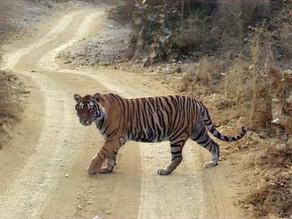 Tiger Spotting in India