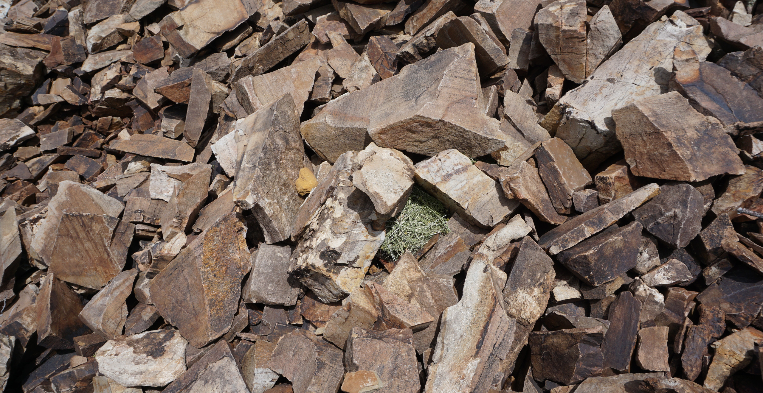 A fresh pika hay pile near the White Mountains visitor center