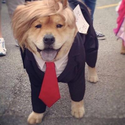 A dog dressed as Donald Trump