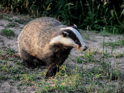 Judges force Government to reveal badger cull details...