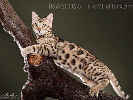 Bengal Breed Group Standard TICA  BENGAL BREED GROUP (BG/BGL)