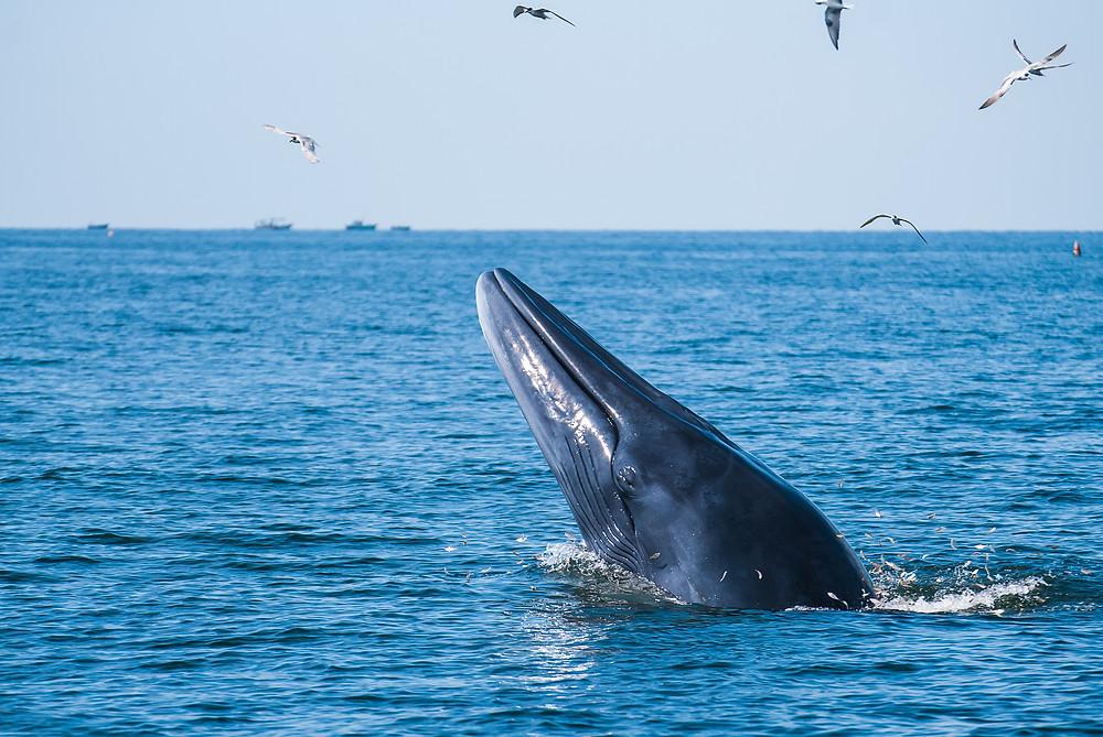 baleine , cétacé , baleine de bryde,