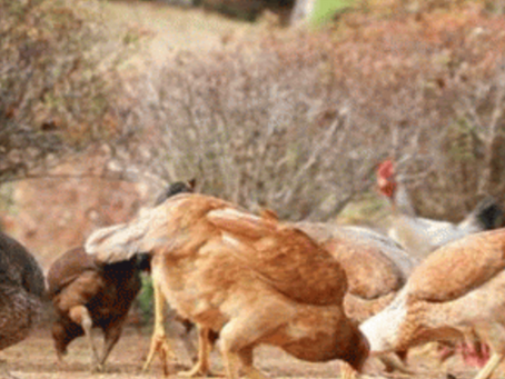 Un élevage pour sauver une famille