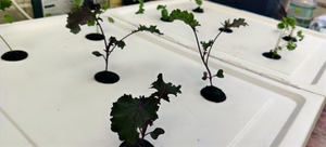 Kale growing in my simple homemade hydroponic system